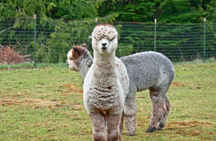 Two Huacaya Alpacas Royalty Free Stock Photos