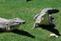 Two huge alligators eat chickens. South Africa Stock Image