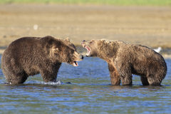 Two huge brown bear boars fighting of territory Stock Images