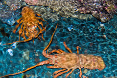 Two huge crayfish in the water Stock Photos