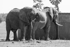 Two huge elephant bulls stand close to reservoir artistic conver Royalty Free Stock Images