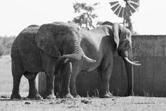 Two huge elephant bulls stand close to reservoir artistic conver Royalty Free Stock Photo