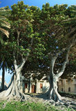 Two huge ficus macrophylla. Ficus macrophylla, commonly known as the Moreton Bay Fig, is a large evergreen banyan tree of the Moraceae family that is best known Royalty Free Stock Photo