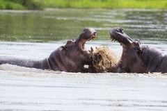 Two huge male hippos fight in water for best territory Royalty Free Stock Photos