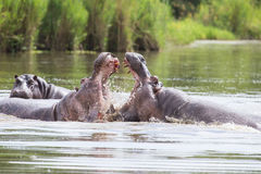 Two huge male hippos fight in water for best territory Stock Photo