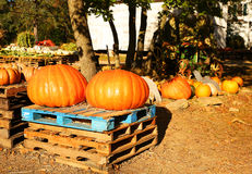 Two huge pumpkins on the autumn market Royalty Free Stock Photos