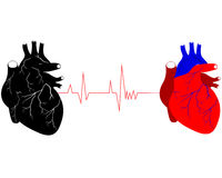 Two human hearts Royalty Free Stock Photography