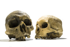 Two human skulls Stock Images