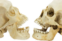 Two human skulls opposite of each other. Two human skulls in front of each other royalty free stock photo