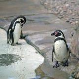 Two Humboldt Penguin. Humboldt Penguins on the stone coast Royalty Free Stock Photography