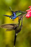 Two Hummers. Competing on a flower Stock Image