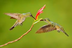 Two hummingbird bird with pink flower. hummingbirds flying next to beautiful red bloom flower, Costa Rica. Action wildlife scene f. Rom nature. Bird flying Stock Photos
