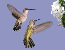 Two Hummingbirds. A female Black-chinned (left) and a male Anna's Hummingbirds approach  Foxglove blossoms Stock Photo
