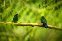 Two hummingbirds Glowing Puffleg sitting on branch in rain in tropical  forest,Colombia,bird perching,tiny beautiful bird resting. On tree in garden,clear royalty free stock photo