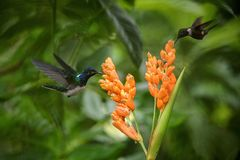 Two hummingbirds hovering next to orange flower,tropical forest, Ecuador, two birds sucking nectar from blossom. In garden,beautiful hummingbird with stock photo