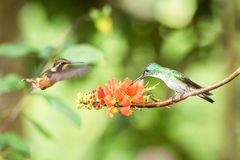 Two hummingbirds hovering next to orange flower,tropical forest, Ecuador, two birds sucking nectar from blossom in garden. Beautiful hummingbird with royalty free stock image