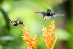 Two hummingbirds hovering next to orange flower,tropical forest, Ecuador, two birds sucking nectar from blossom. In garden,beautiful hummingbird with stock photography
