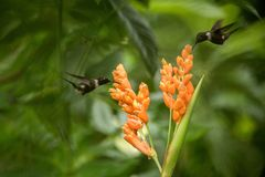 Two hummingbirds hovering next to orange flower,tropical forest, Ecuador, two birds sucking nectar from blossom. In garden,beautiful hummingbird with royalty free stock photography