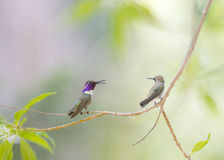 Two Hummingbirds. A male hummingbird saying something to to the  female cheerfully Royalty Free Stock Photography