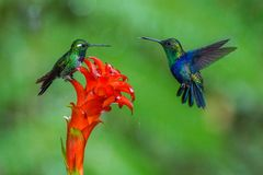 Two hummingbirds are meeting at amazing red bloom in the forest rain environment. The Purple-bibbed White Tip urosticte benjamini. One is sitting on the flower royalty free stock photography