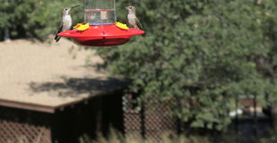 Two Hummingbirds Royalty Free Stock Image