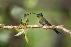Free Two Hummingbirds Sitting On Branch Next And Interact, Hummingbirds From Tropical Rainforest,Peru,bird Perching Stock Photography - 139922472