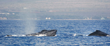 Two Humpback whale. Humpback whale inhale air in the sea of Hawaii Royalty Free Stock Photo