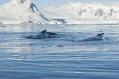 Two humpback whale. Two humpback whale floating on the background of the Antarctic Peninsula Royalty Free Stock Image