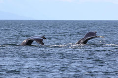 Two Humpback Whale Flukes Royalty Free Stock Images