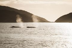 Two humpback whale, Greenland. Two humpback whale swimming in Atlantic ocean, western Greenland Stock Photos