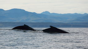 Two humpback whales. In the ocean of south africa Stock Image