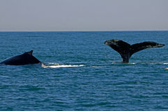 Two Humpback whales in bay of fundy. The whales seem to enjoy a social life Stock Images
