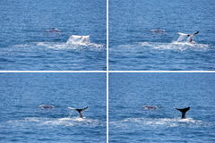 Two Humpback Whales Montage in Hervey Bay Stock Photos