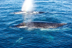 Two Humpback Whales surfacing and spraying water through blowhol Stock Photo