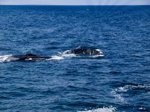 Two Humpback Whales Swimming. Whale watching in Cape Cod Humpback Whales Swim and Feed together Royalty Free Stock Photography