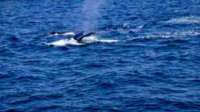 Two Humpback Whales Swimming 2. Whale watching in Cape Cod Humpback Whales Swim and Feed together. Many times it is mother and child Stock Photo