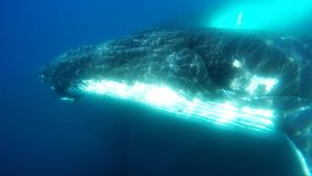 Two Humpback Whales under water. In Antarctica stock footage