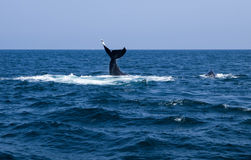 Two Humpbacks Swimming One Tail One Fin. Whale watching in Cape Cod Humpback Whales Swim and Feed together Royalty Free Stock Images