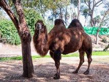 Two-humped верблюд стоит на том основании в тени дерева на солнечный день Стоковые Изображения