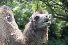 Two-humped верблюд - bactrianus Camelus при серое коричневое мех смотря вверх в зоопарке Кёльне Стоковое Изображение