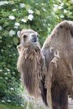 Two-humped верблюд - bactrianus Camelus при серое коричневое мех смотря вверх в зоопарке Кёльне Стоковая Фотография RF