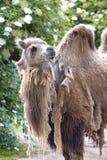 Two-humped верблюд - bactrianus Camelus при серое коричневое мех смотря вверх в зоопарке Кёльне Стоковое фото RF