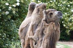 Two-humped верблюд - bactrianus Camelus при серое коричневое мех смотря вверх в зоопарке Кёльне Стоковая Фотография