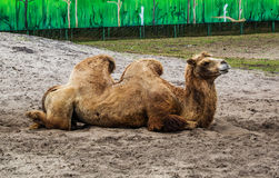 Two-humped верблюд положенный вниз на песок Стоковое Изображение