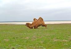Two-humped верблюд получает на задних ногах Побережье озера Manych-Gudilo, Калмыкии Стоковые Изображения RF
