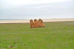 Two-humped верблюд сидит на банке озера Manych-Gudilo Стоковые Фото