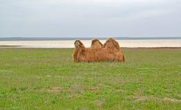 Two-humped верблюд сидит на банке озера Manych-Gudiloin степь весны Калмыкия Стоковые Фотографии RF