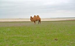 Two-humped верблюд стоит на банке озера Manych-Gudilo Стоковое фото RF