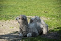 A two-humped baby camel sitting in the grass. In the city park stock images