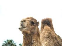 Two-humped bactrianus Camelus верблюда с смешным isol выражения Стоковые Фотографии RF
